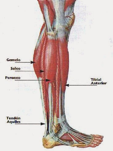 partes del músculo sóleo